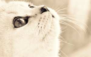 371545__white-cat_p